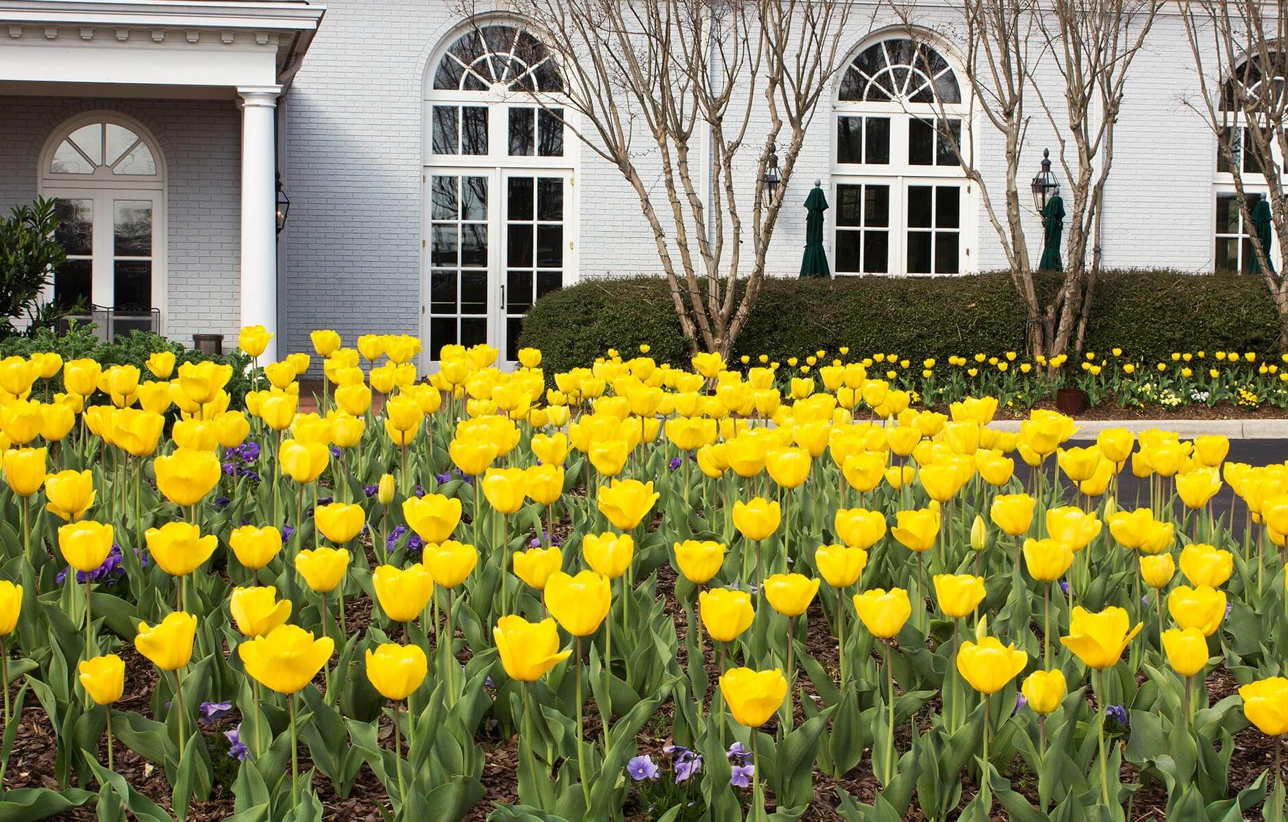 Beautiful yellow tulips in large flower beds