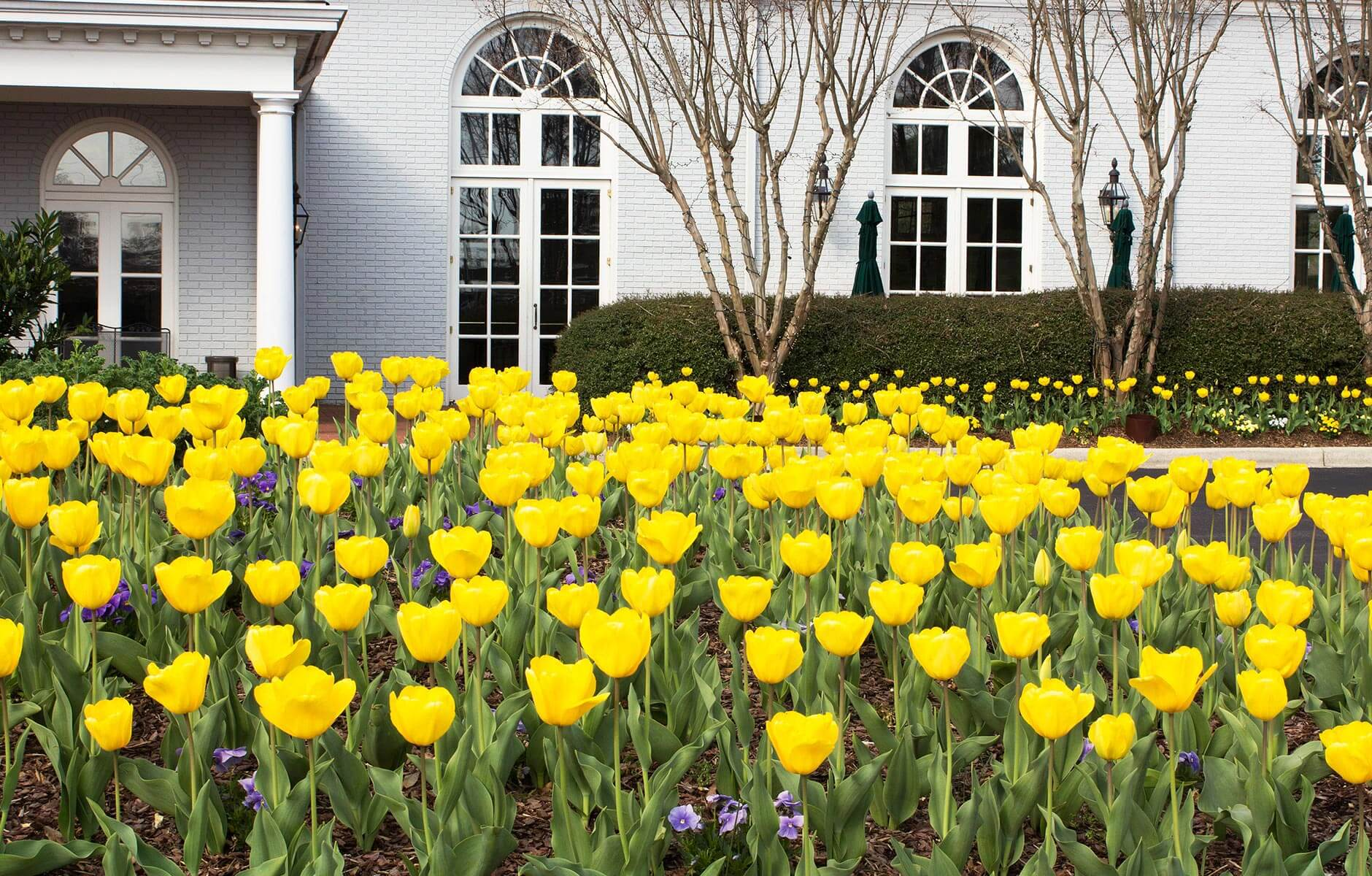 Large yellow tulip flower bed in Birmingham, Alabama